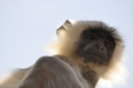 Langur look at me